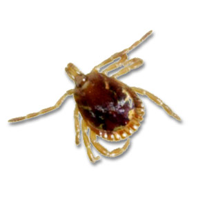 Adult Male Lone Star Tick (Amblyomma americanum) photo